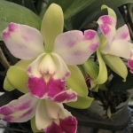 "Blc.Village Chief North ""Little Spring"""