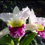 Blc. Beauty Girl ''C U Kova'