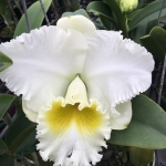 "Rlc Burdekin Wonder ""Lake Land"""