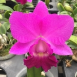 Rlc Chialin Red Cat