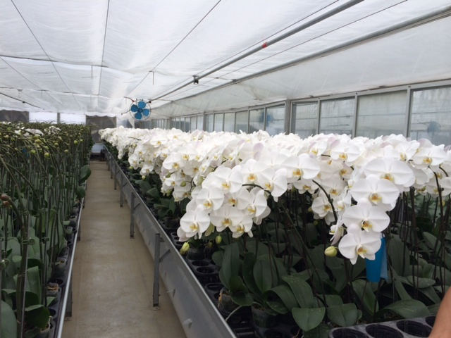 greenhouse for cut phal