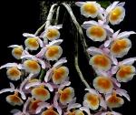 Den. Primulinum (yellow)