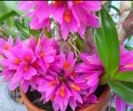 Den.hibiki (bracteosum x laevifolium)