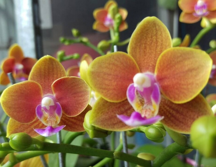 Orange Phalaenopsis