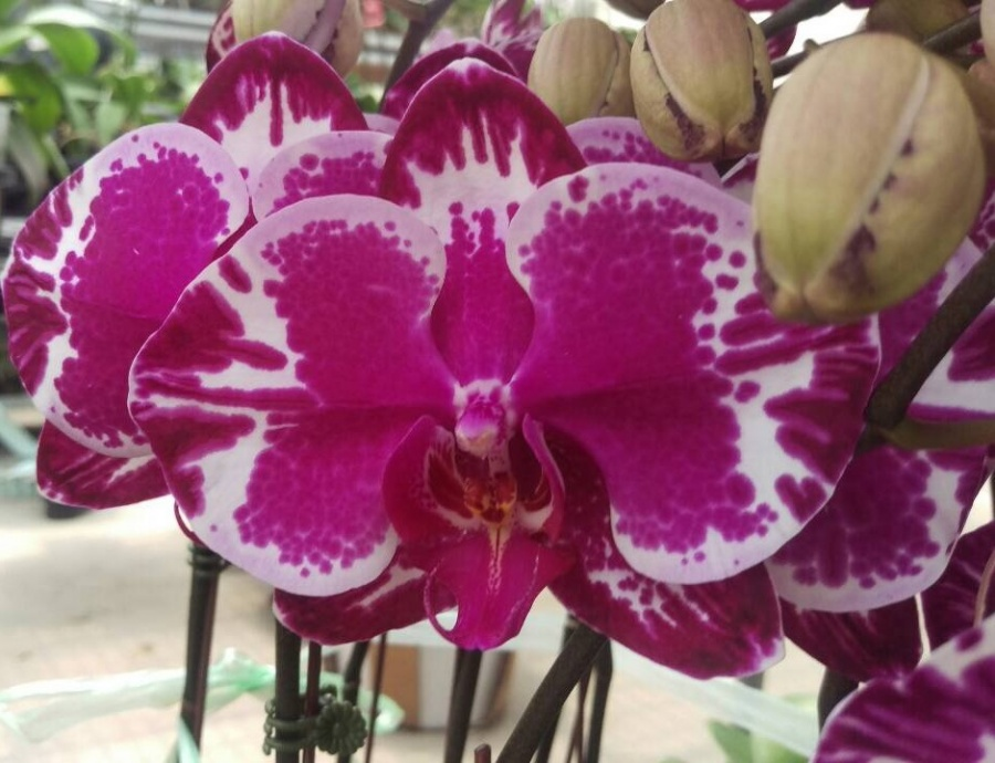 New Orchid Flower Colors Orchid Hub