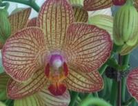 Stripped Phalaenopsis