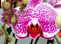 Purple Spotted Phalaenopsis
