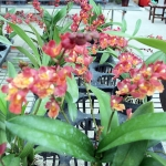 "Hwra. Lava Burst ""Red Bug"""