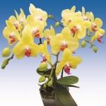 2035 phalaenopsis