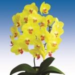 2036 phalaenopsis