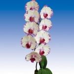 2039 phalaenopsis