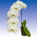 2069 phalaenopsis