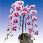 2088 phalaenopsis