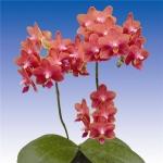 2140 phalaenopsis