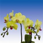 2170 phalaenopsis