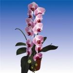 2171 phalaenopsis