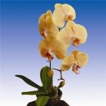 2191 phalaenopsis
