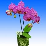 2310 phalaenopsis