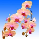 2362 phalaenopsis