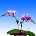 2417 phalaenopsis