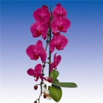 2494 phalaenopsis