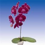 2632 phalaenopsis