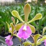 Epi. floribundum x Encyclia cordigera