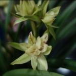 "Cymbidium ensifolium ""Fu Shan"""