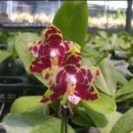 P. (Golblieber x mariae)
