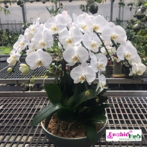 Phalaenopsis 5-in-1