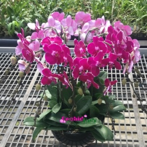 Fresh phalaenopsis orchid