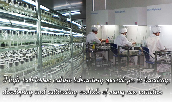 orchid tissue culture