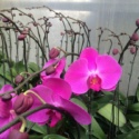 Orchid Plants Available for Immediate Release
