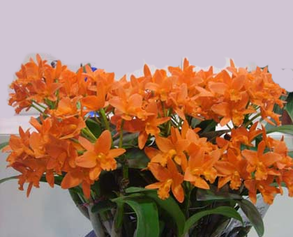 Cattleya Orchids Orchid Hub