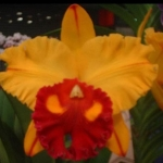 """Blc. Tainan Gold """"Golden Canary"""""""