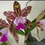 """C. Green Emerald """"Orchid Queen"""""""
