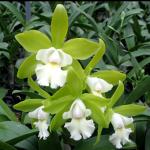 Cattleychea Siam Jade ( C. Penny Kuroda x Cattleychea Vienna Woods
