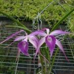 B. cucullate x L. purpurata