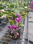 """Den. mini phalaenopsis """"variegated leaf"""""""