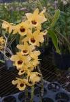 Den. Golden Blossum Kogane