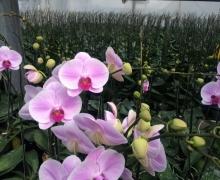 pink phalaenopsis