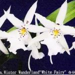 """Dgmra. Winter Wanderland """"White Fairy"""""""