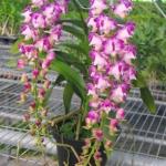 Aer. lawrenceae