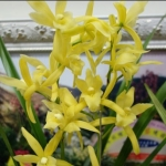 Cymbidium Golden Elf