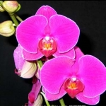 Dtps. Jiuhbao Red Rose