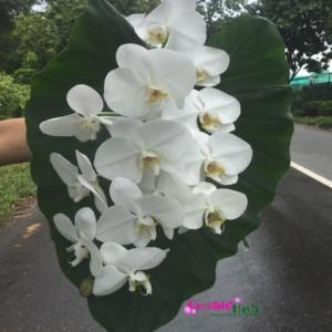 000 Phalaenopsis orchid